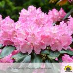 rododendrony królewskie