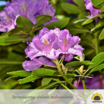 Rododendrony do nasadzeń w pojemnikach