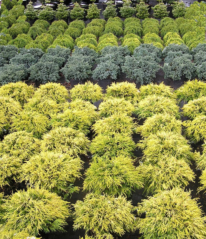 krzewy i drzewa iglaste