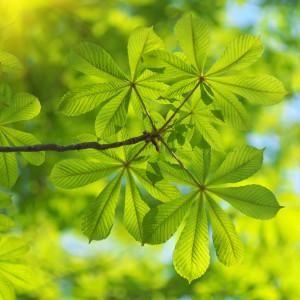 Drzewa liściaste (alejowe)