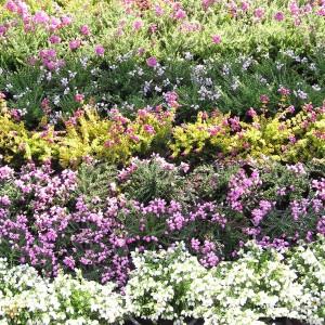 Rośliny zimozielone i wrzosowate
