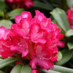 Różaneczniki i azalie od rozmiaru podstawowego do dużych okazów soliterowych