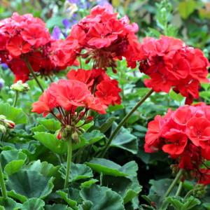 Sezonowe rośliny rabatowe i balkonowe