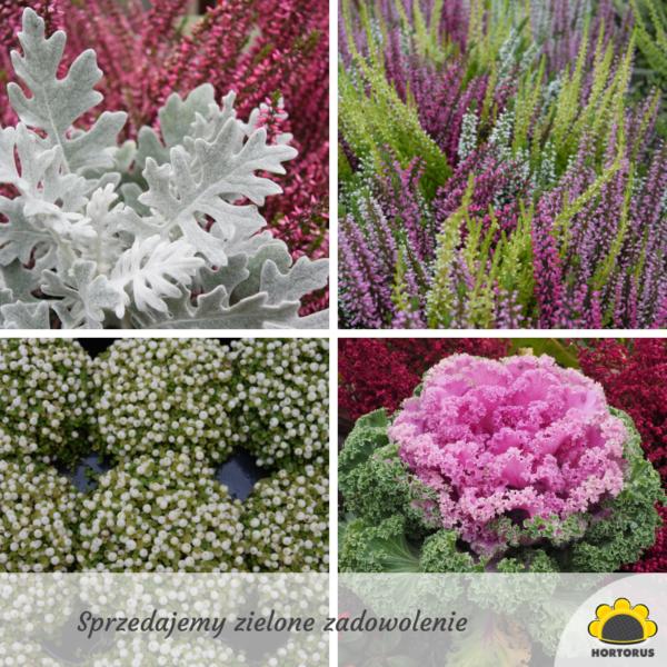 Wytrzymale Kwiaty Na Balkon 5 Najpiekniejszych Odmian Ogrod I Balkon Polki Pl