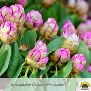rododendrony na słońce