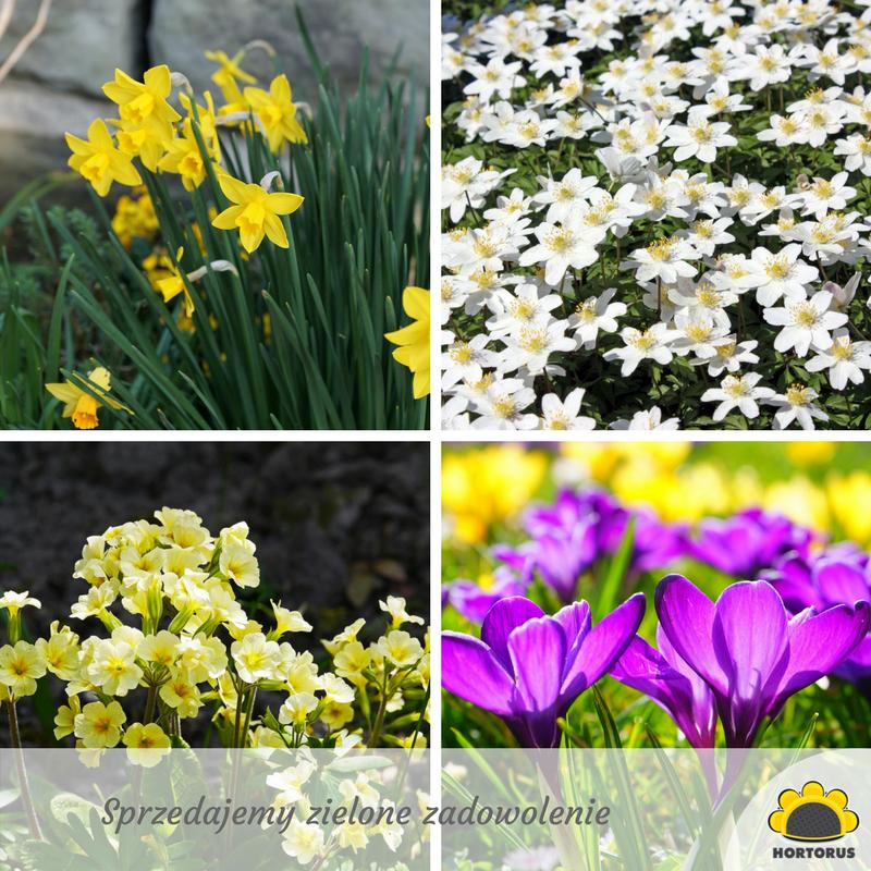 Wiosenne Kwiaty Pierwsza Ozdoba Ogrodu Po Zimowej Aurze